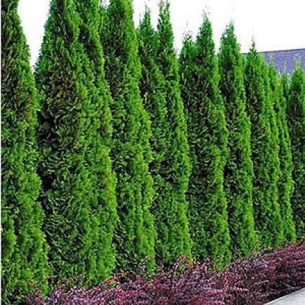 Schneller Sichtschutz mit Hecken Lebensbaum, Pflanze und - garten pflanzen sichtschutz