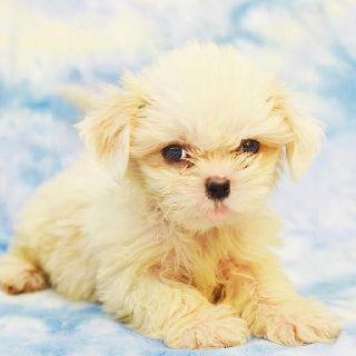 Shih Tzu Puppy Shih Tzu Puppy Shih Tzu Dog Cute Animals