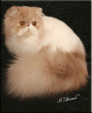 White Cream Colored Persian Cat Google Search Cute Cats And Kittens Persian Cat Cute Animals