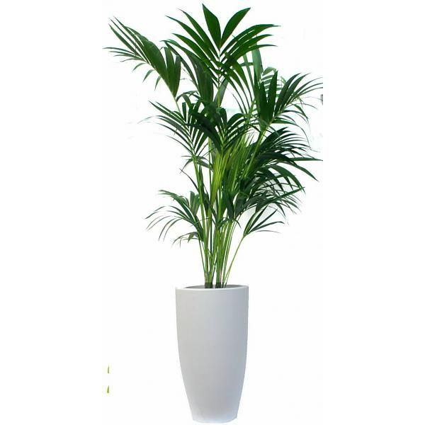 Palm Kentia Howea In Pot Elho Large