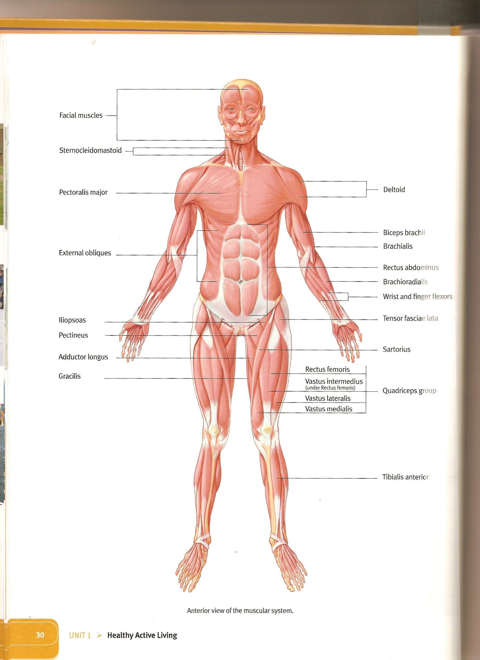Printables Muscles Of The Body Worksheet 1000 images about anatomy resources on pinterest muscle keys and muscles of the body
