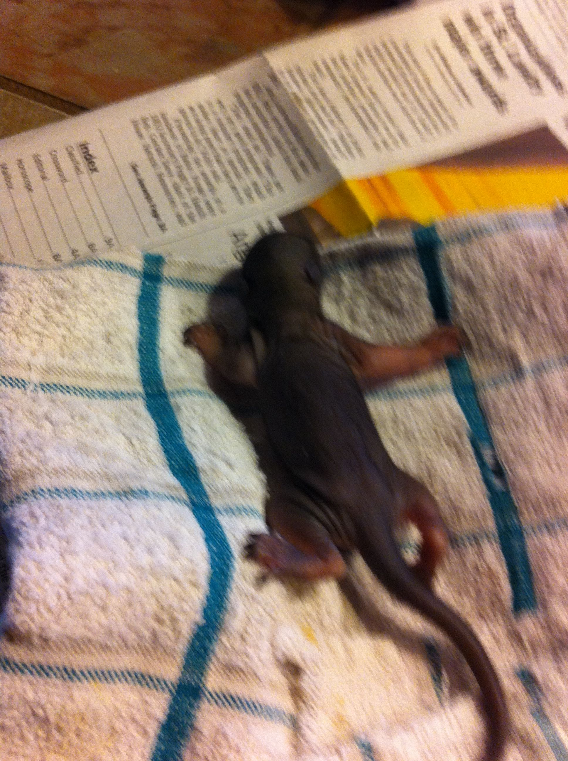 Baby squirrel that my brother rescued from the woods today!!