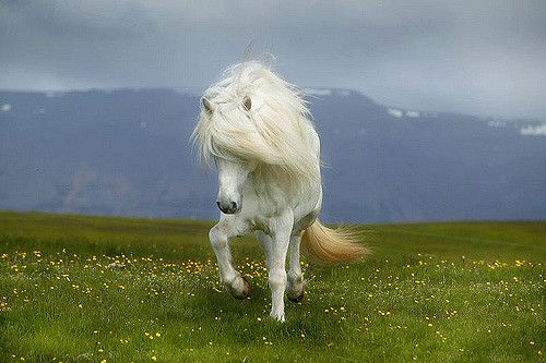 Icelandic horse, photo Ragnar Sigurdsson