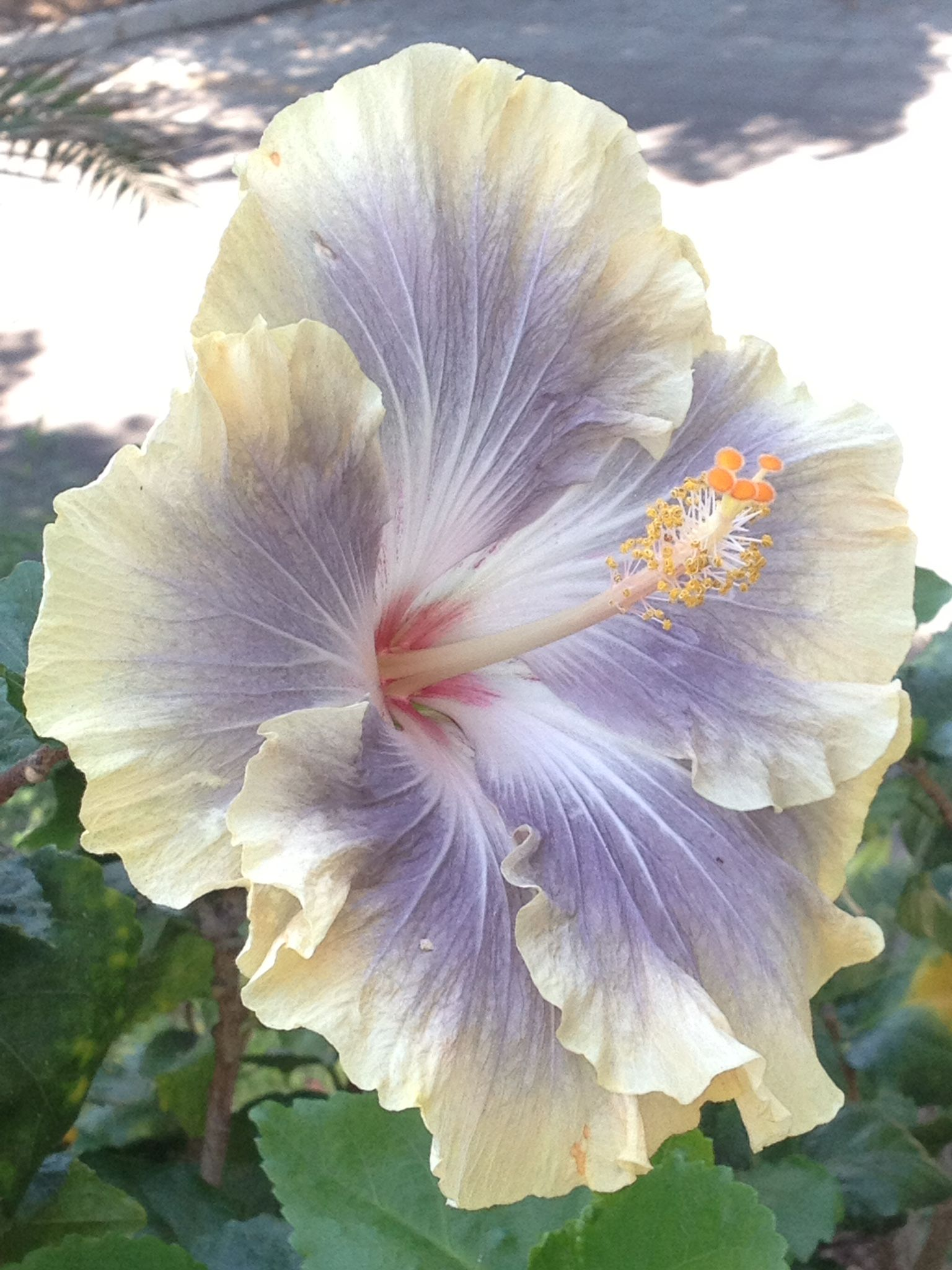 Dont know the name of this one plants pinterest hibiscus dont know the name of this izmirmasajfo