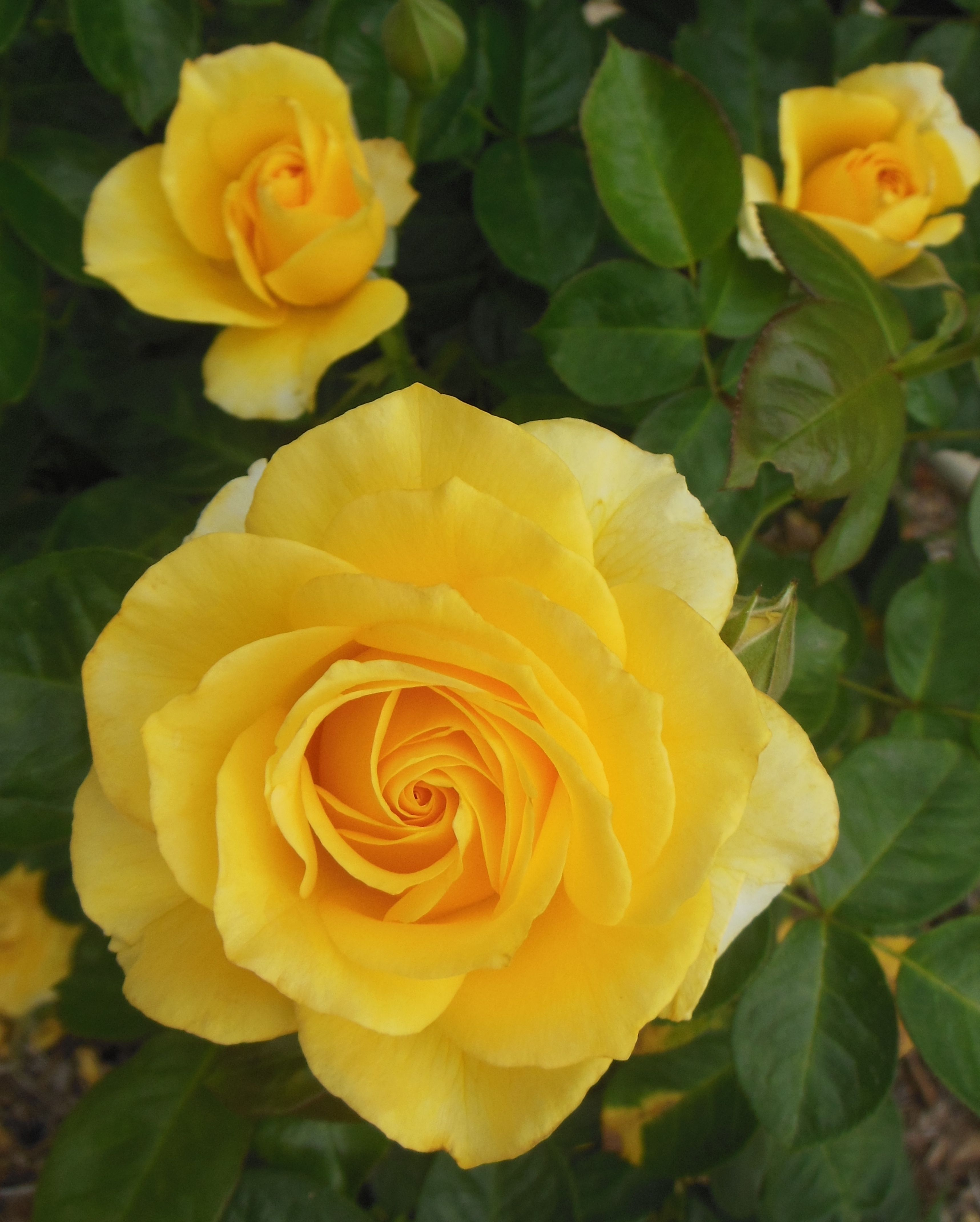 Did You Know Altman Plants Hybrid Tea Shrub Roses Are Low Maintenance Easy To Grow And Disease Resistant Hybrid Tea Roses Rose Varieties Rose Garden Design