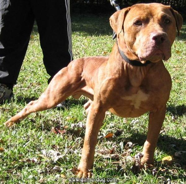 Best Looking Gr Ch Pitbull Dog Pitbull Terrier