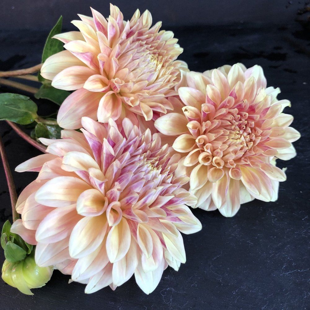Pin On Dahlias All Day