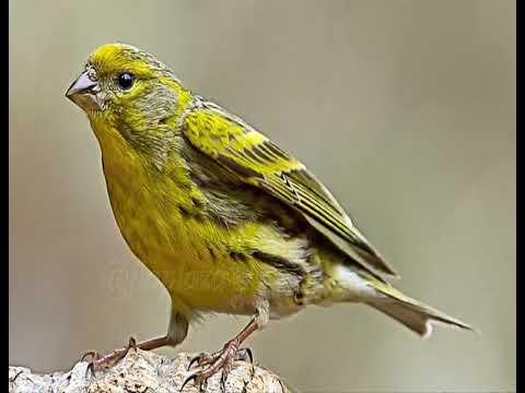 Canario Sajón O Común Pajaros Canarios Domésticos Canary Birds Birds Animals Of The World