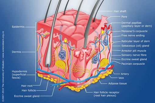 Diagram Of Human Skin Structure Skin Structure Skin Anatomy Integumentary System