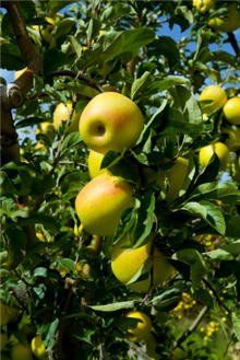 Golden Delicious Apple Tree Fast Growing Trees Apple Tree Tree Nursery
