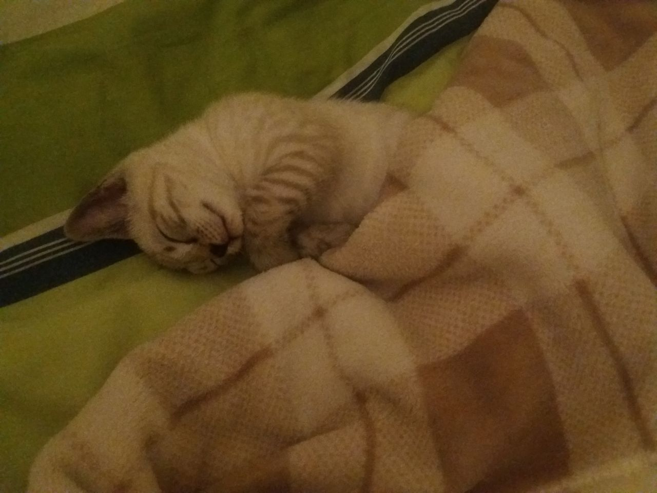 For sale stunning bengal snow female kitten This is very active
