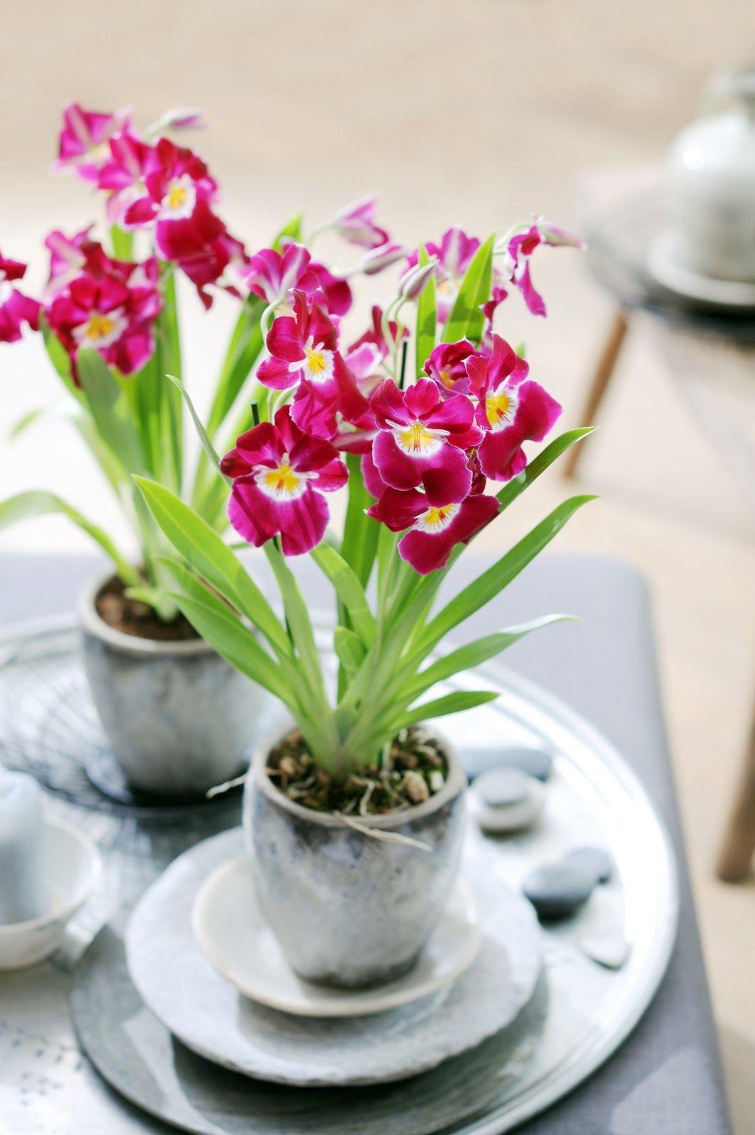 Funky Friday blog: Charismatische schoonheid verovert je met kleur en geur - woonplant van de maand mei: Miltonia http://funkyfridayshop.blogspot.nl/2013/05/charismatische-schoonheid-verovert-je.html