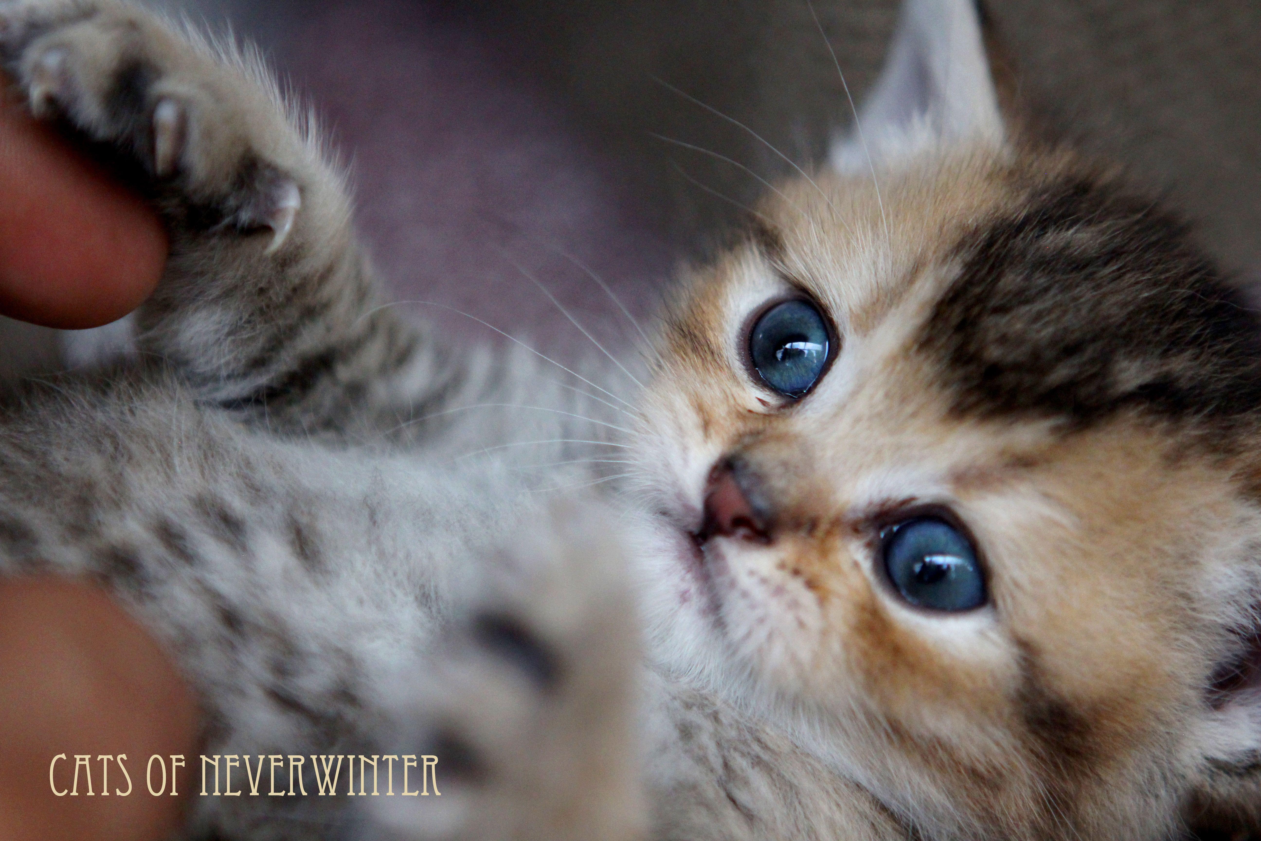 Our British Shorthair Kittens From Gaia Stars Stud From Feline Magic Georgie Porgie Pudding An British Shorthair British Shorthair Kittens Kittens