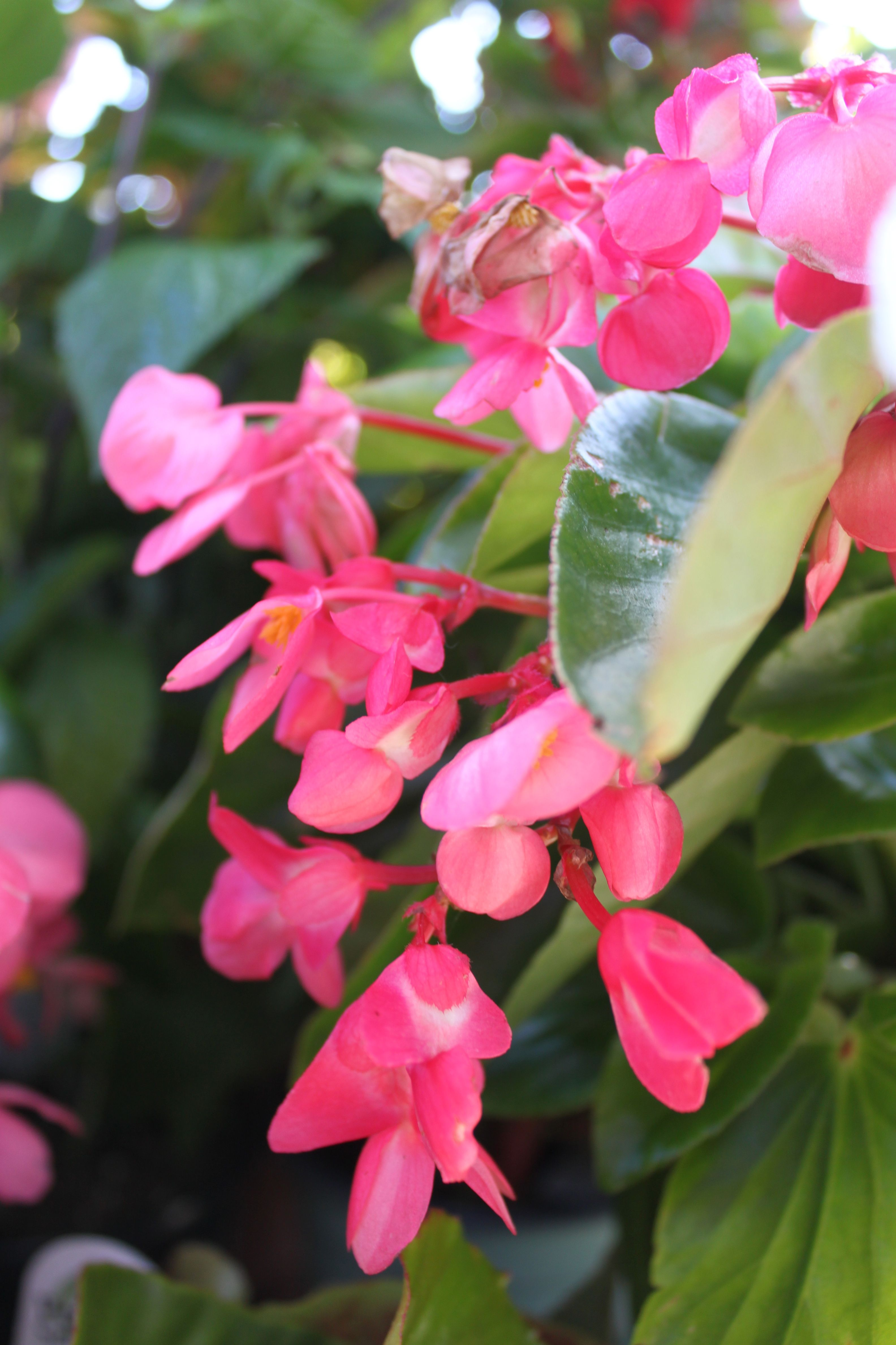 Dragon Wing Pink Begonia Begonia A Heat Tolerant Annual With