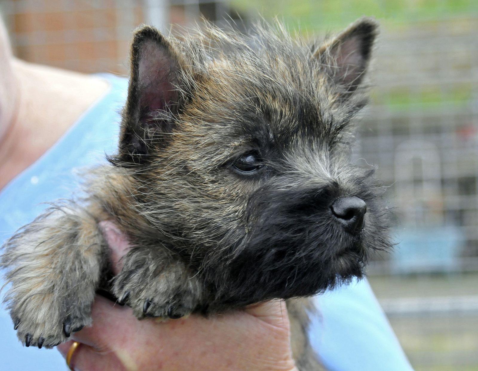 Tweedisle Gabriella Cairn Terrier Puppies Cairn Terrier
