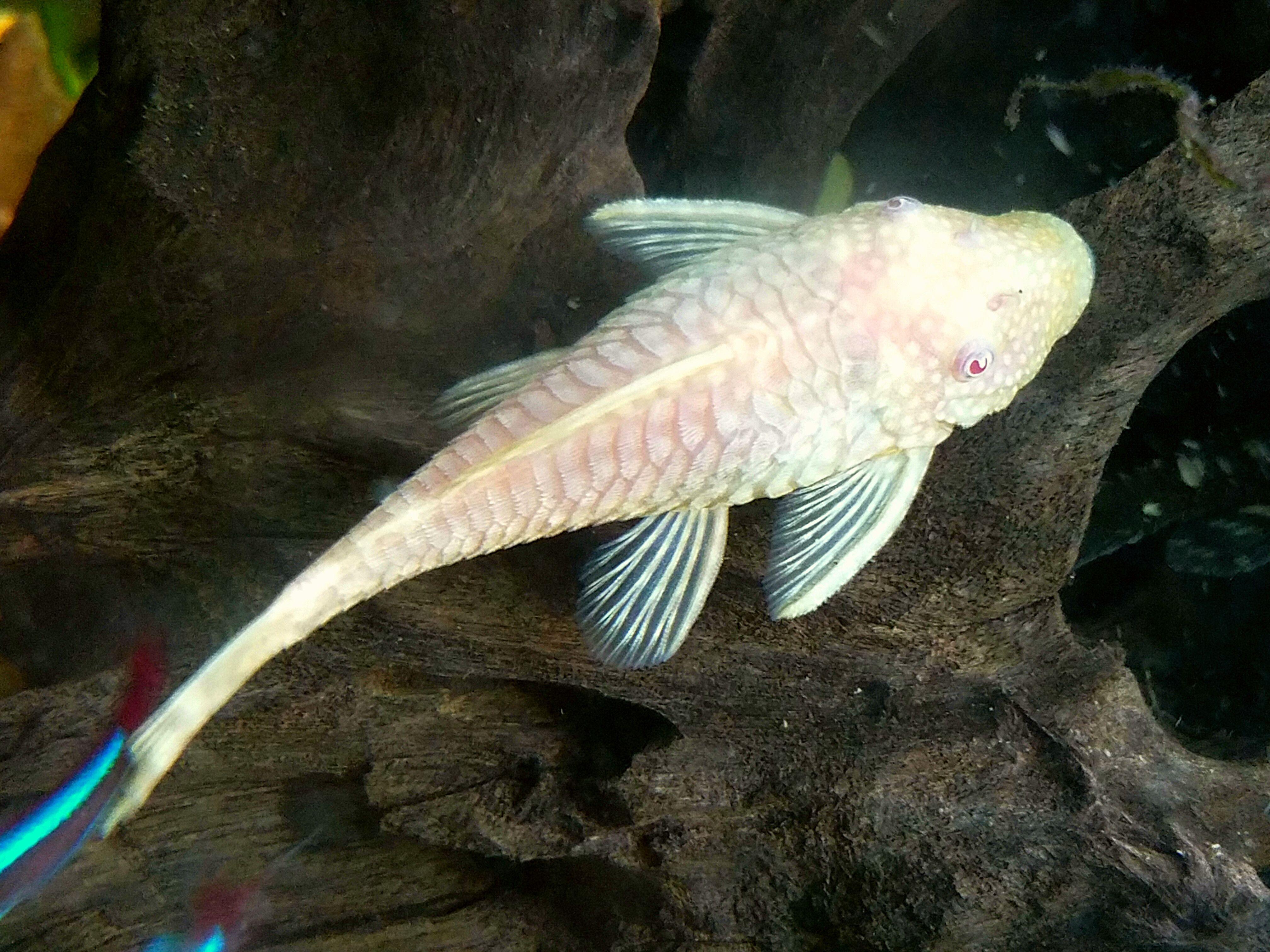 Freshwater Angelfish Anatomy Topsimages