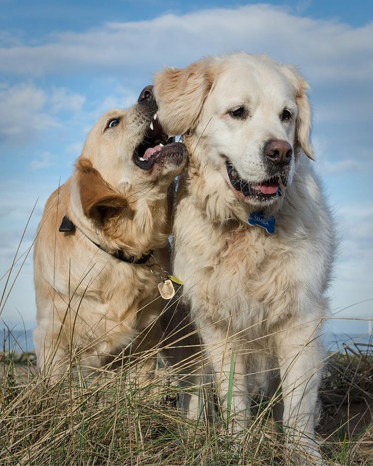 Whispering Sweet Nothings Not Bff Simba Goldies Goldenretrievers Beachdogs Beachdogsofinstagram Playmate Guidedogpuppy Outdoor Dog Guide Dog Dogs