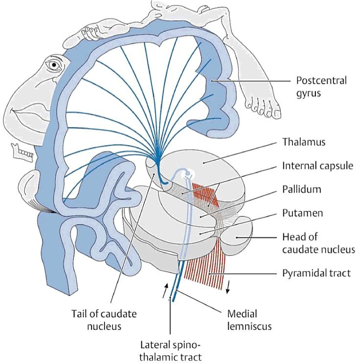 internal capsule in relation to cortex | Anatomi | Pinterest ...