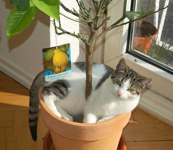 Смешные изображения горшечных кошек (20 фото)   Кошки и ...