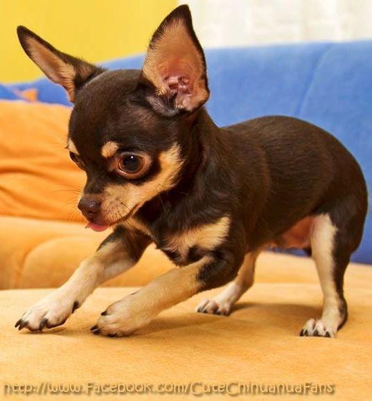 Playful Puppy Via Www Facebook Com Cutechihuahuafans Chihuahua Puppies Chihuahua Love Chihuahua Dogs