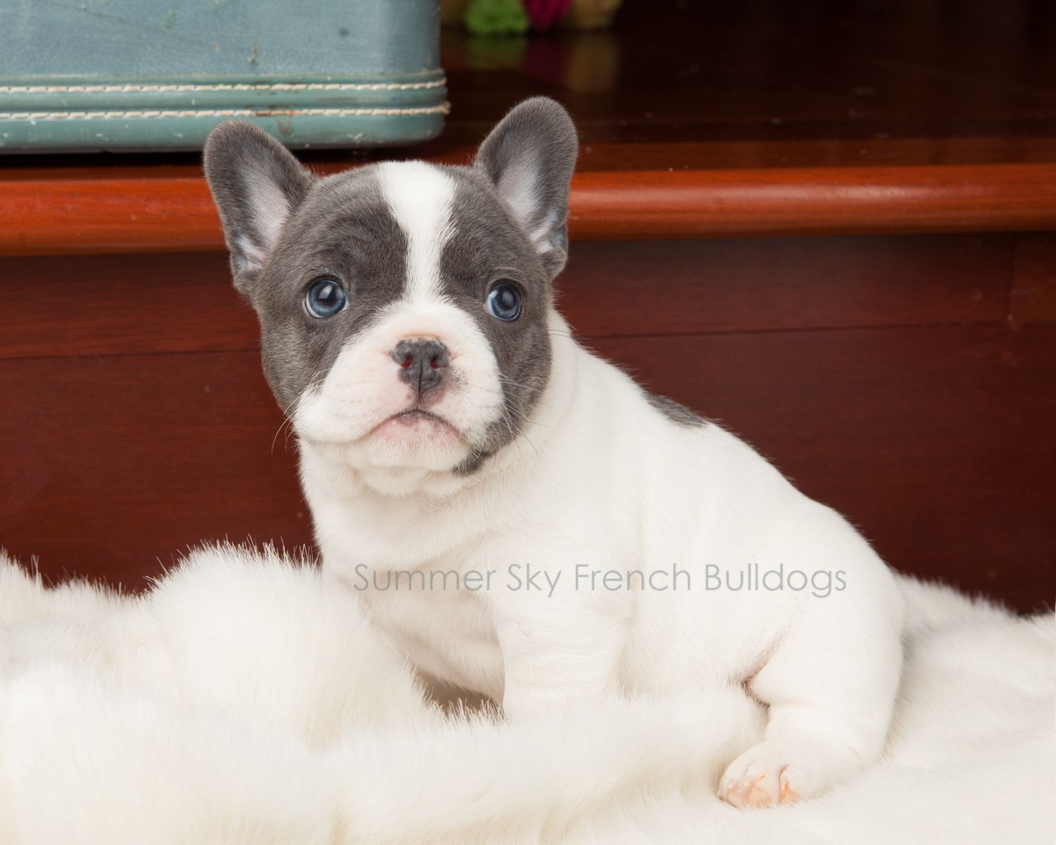 P O R T I A Blue Pied Merle Female Available Www