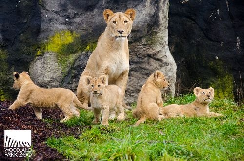 Our lion cubs are being introduced to the outdoors! The pride is not on view to visitors yet, but we'll keep you posted! #cute
