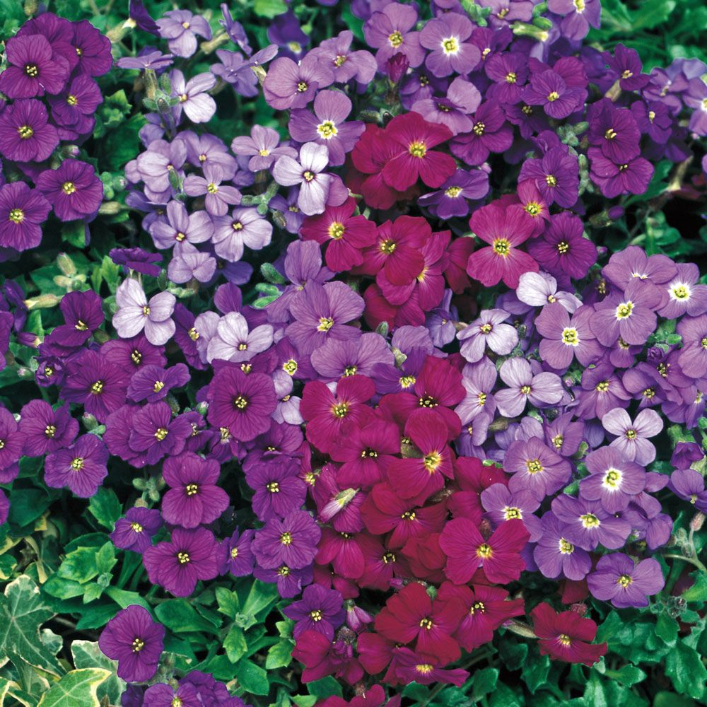 Aubrieta Royal Mixed  Good Ground Cover  Blooms In Spring Only