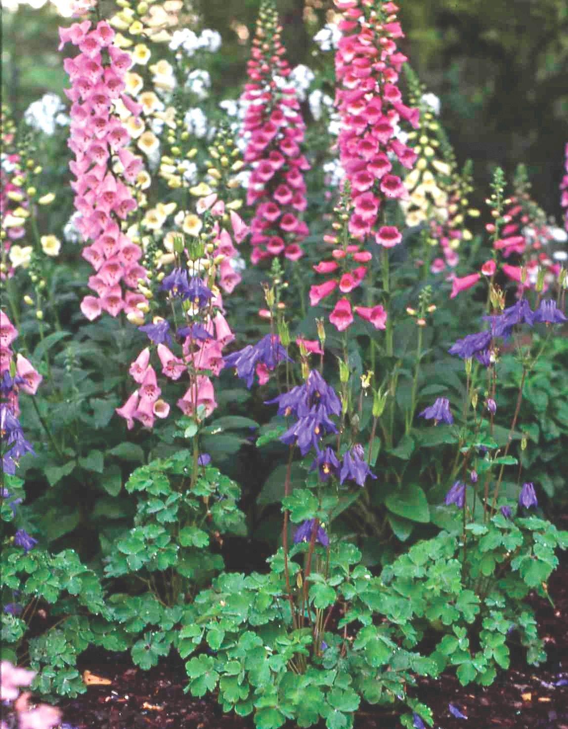 Speckled Cream Foxglove Seeds CAMELOT CREAM 50+ Seeds Magnificent Spikes