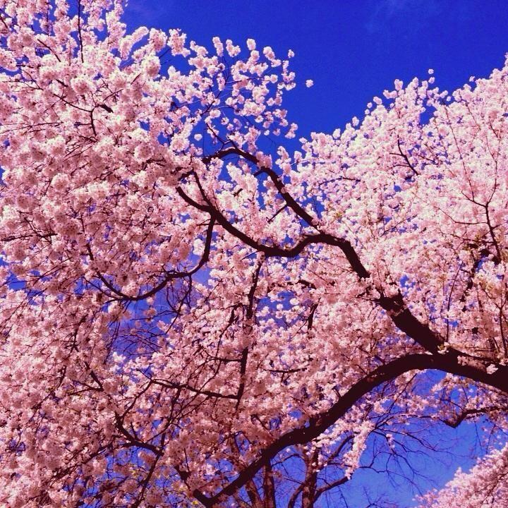 A Cherry Tree Near East 72nd Street By Julie Graham Cherryblossom Spring Centralpark