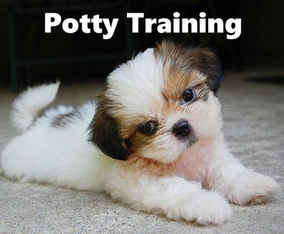 Shih Tzu Puppies How To Potty Train A Puppy House