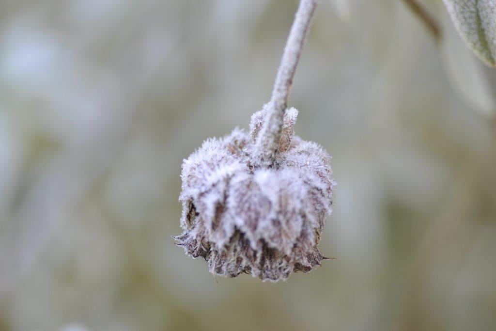 Frozen seedhead