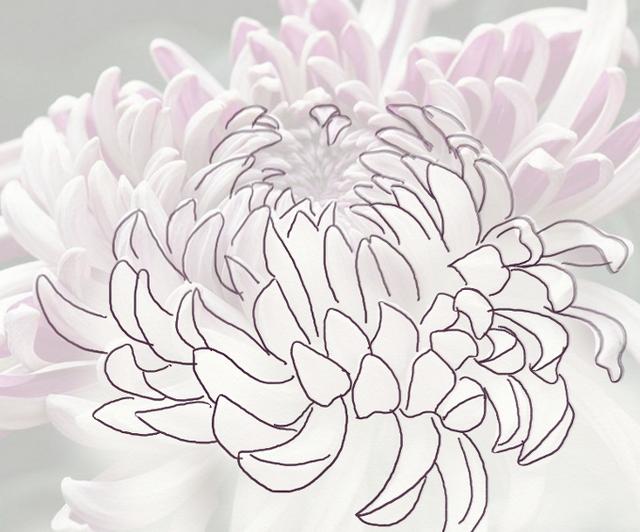 Anyone Can Draw A Beautiful Chrysanthemum Flower Drawing Chrysanthemum Flower Drawing Chrysanthemum Drawing
