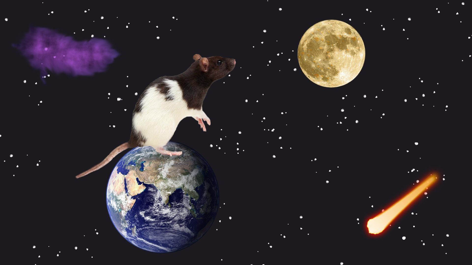 1920x1080 Rat Looking At Some Cheese Wallpaper Wallpaper Rats
