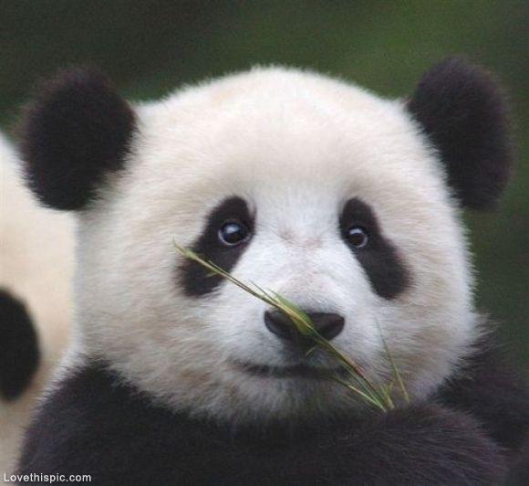 Panda enjoying his Bamboo cute tree forest black white bear panda wildlife