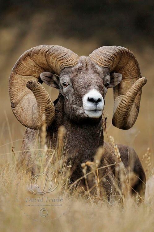 Big Horn Sheep | Chivos* con cuernos exóticos | Pinterest | Venado ...