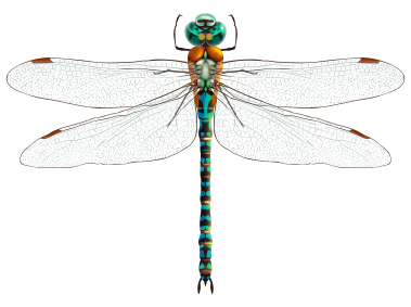 Dragonfly Dragonfly Png Dragonfly Dreams