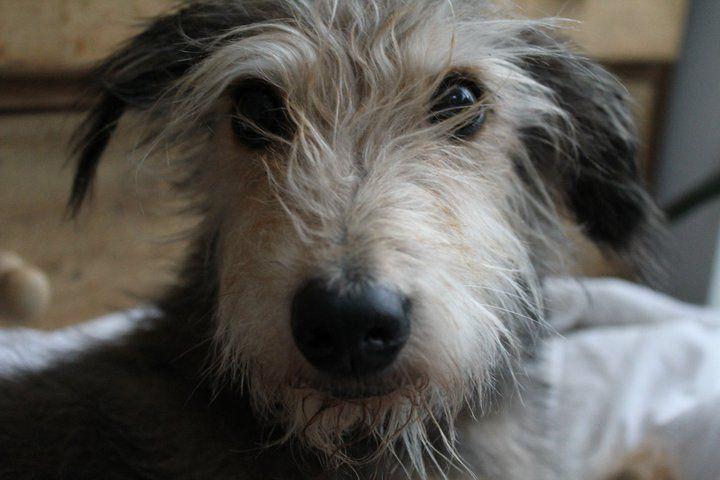 Beautiful And Cute York Terrier Dog: Meg. My Beautiful Bedlington Terrier X Whippet. #lurcher