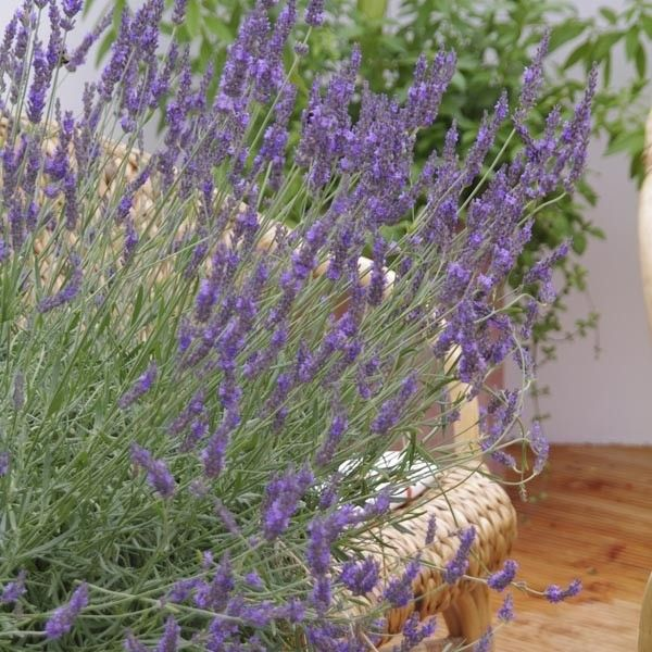 One Of The Best Lavenders To Be Recently Introduced Phenomenal