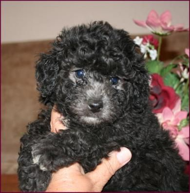Black Bichon Frise Puppies Male Bichon Frise Bichon Frise Puppy