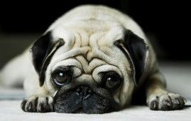 Cute Vodafone Dog Hd Laptop Background Cute Pugs Pugs Dog