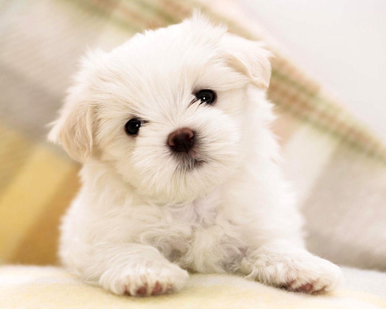 Ninaℓaℓyxyyaisyѕgℓam Maltese Puppy Cute Dogs Puppies