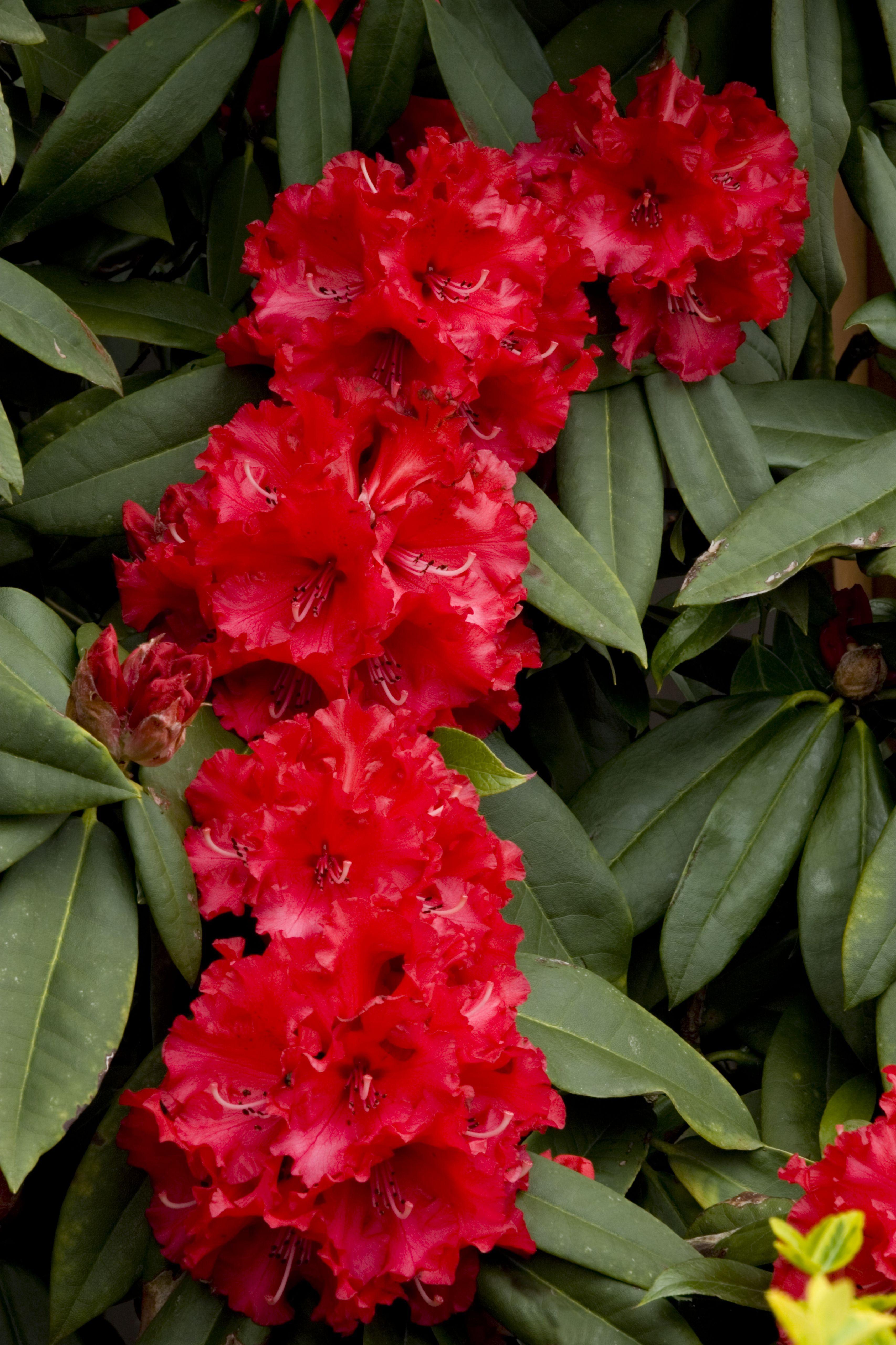 Taurus Rhododendron Monrovia Taurus Rhododendron Fiori Vasi
