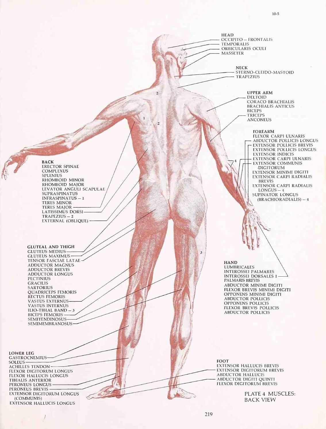 Human Anatomy And Figure Drawing Anatomy Pinterest Human