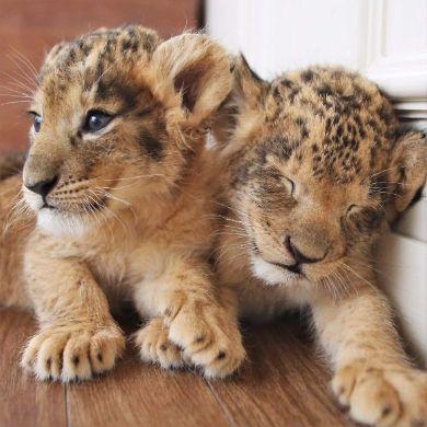 ライオンの赤ちゃん アフリカンサファリ 大分 寝顔