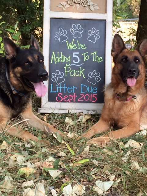 Puppy Announcement German Shepherds Puppy Announcement