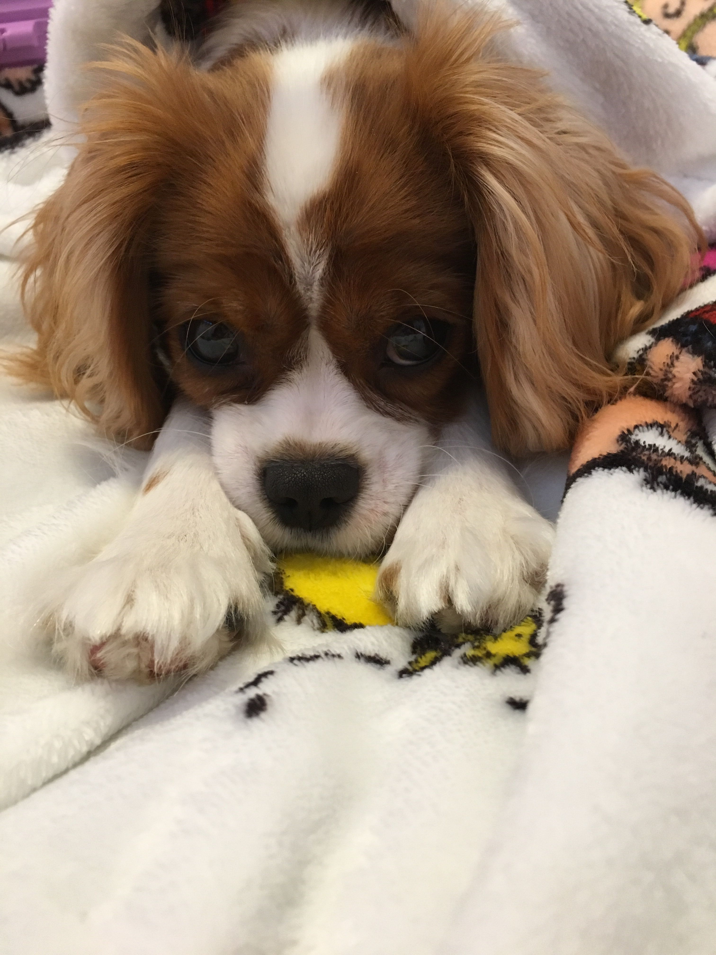 Pin by Emma May on Bella Cavalier king charles, King