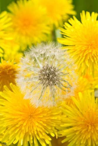 Dandelion Spring Salad And Syrup Dandelions Have A Pretty High Nutrition Value In Fact So High That The U S Agric Yellow Flowers Dandelion Beautiful Flowers