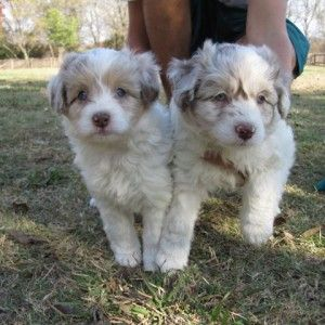 Bordoodle Puppies We Bred F1b F1 Litters Of Petitie Mini And Mini And Standard Size Bordoodles Petites 12 2 Bordoodle Dog Breeds That Dont Shed Doodle Puppy