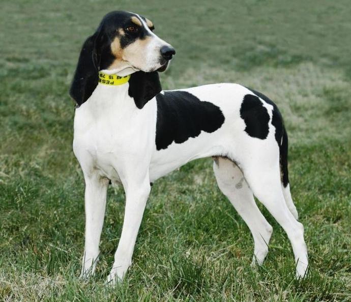 Swiss Hound Jagdhunde Hunde