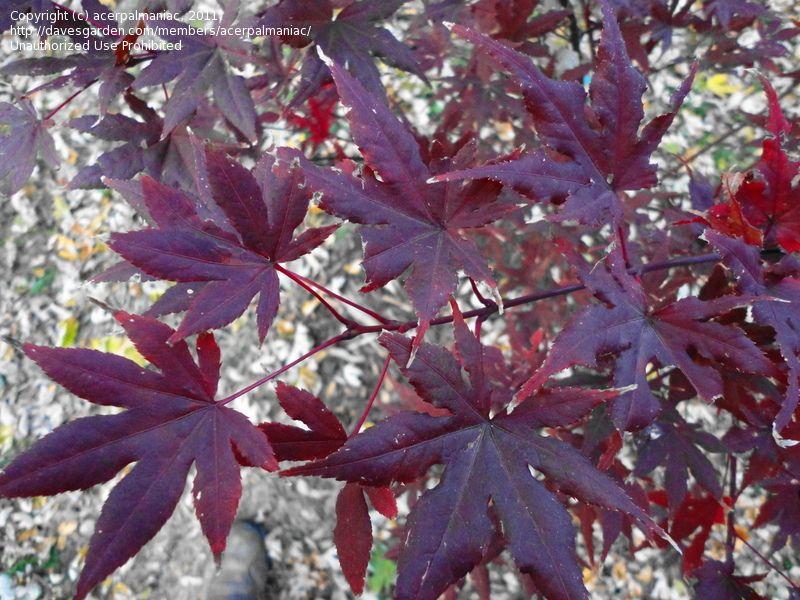 Acer Palmatum Purple Ghost A Dark Red And Purple Japanese Maple